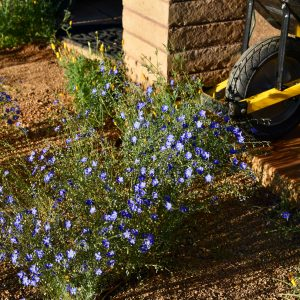 Perennial flax gets a boost in interest from a wheelbarrow