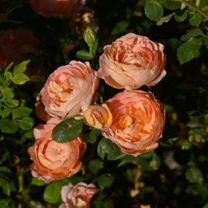 four orange roses