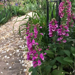Foxgloves thrive in the shade of a rose
